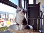 乌鲁木齐哪里有美短猫虎斑加白卖 纯血统 萌翻你的眼球品质保障
