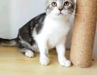 猫舍繁殖精品高品质美短热卖中欢迎选购!