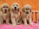 上海本地 出售金毛犬,簽合同包健康純種,本地可送貨上門
