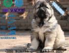 出售大骨架俄系 高加索幼犬 送货上门 健康有保障