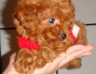 西安本地犬舍出售泰迪熊幼犬 包健康包纯种签协议送用品