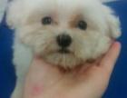 家养高品质马尔济斯幼犬一窝出售,可上门看狗