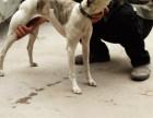 出售最后一批好品种马犬 比特犬 杜高犬