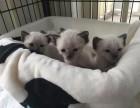 纯种完美品质 暹罗小猫咪 包血统 保健康 疫苗做齐