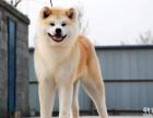 养殖基地出售高品质 正宗日系秋田犬 公母都有 可选