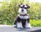 太原纯种雪纳瑞价格,太原哪里能买到纯种雪纳瑞犬