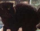 纯黑色苏格兰折耳猫弟弟、脸大品相完美