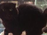 纯黑色苏格兰折耳猫弟弟、脸大品相完美、喜欢的小窗
