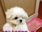 2个月的马尔济斯犬3500元(公母均有)