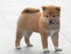 北京出售日本柴犬幼犬狗狗宠物狗纯种日系小柴犬活
