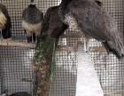 一只孔雀大概多少钱?