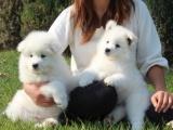 珠海本地 出售萨摩耶幼犬 本地狗现货挑选 健康保障