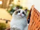 出售美短加白猫 蓝猫 布偶猫上海家养cfa猫舍