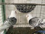 天使观赏鸽 跟斗观赏鸽 燕子观赏鸽 彩背观赏鸽等品种出售