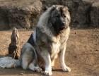 怀化出售纯种俄罗斯进口大骨架高加索犬 四肢粗壮骨量足 品相佳