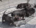 中国较大双血统比特犬繁殖基地 可实地考察