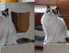 重庆哪里有最正规最大的宠物店,我想养只布偶猫