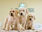 出售美系金毛犬~协议质保健康纯种~疫苗齐全送货上门