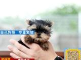 韩版超小体约克夏犬 金头银背 茶杯体约克夏幼犬销售