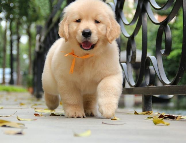 大骨架金毛幼犬,品相完美,包纯包健康,来带800