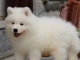 鄭州 純種薩摩耶幼犬 疫苗齊全出售中 可簽協議健康保障