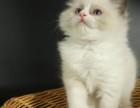 脸猫网 布偶精品MM