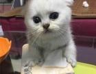 苏格兰折耳/DD/银虎斑/折耳猫/美短花纹/宠物猫