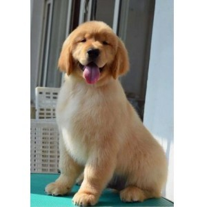 金毛犬纯种幼犬活体狗狗宠物狗犬舍直销驱虫疫苗齐城市家养伴侣犬
