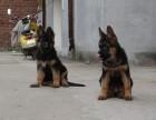 出售纯种短毛弓背德国牧羊犬 **高品质德牧幼犬