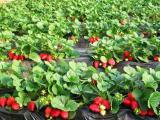 宁波草莓苗多少钱 价格优惠