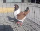 精品摩登那鸽子出售 大体摩登那 三色摩登那