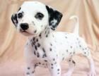 常年销售 斑点犬 高品质有保障犬一顾客信赖的选择