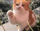 上海广州深圳北京宠物美短猫价格 淘宝搜:双飞猫