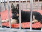 纯种的德国牧羊犬多少钱 宠物店的狗靠谱吗