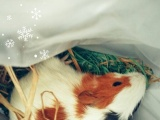 荷兰猪…豚鼠~吃青菜草长大的