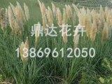 鼎达花卉苗木出售专业的矮蒲苇 矮蒲苇种植基地