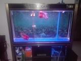 出售1.2米森自改虹吸底滤鱼缸,和2个成年大罗汉。