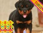 CKU认证犬舍 罗威纳犬 保障健康 终生售后
