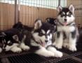 北京犬舍直销哈士奇,拉布拉多,萨摩,博美等名犬,批发价出售