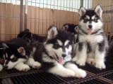 佛山哪有阿拉斯加犬卖 佛山阿拉斯加犬价格 阿拉斯加犬多少钱