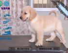 養不死才是王道 福州基地直銷金毛犬 健康保障