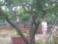 石榴树、石榴树苗、柿子树、山楂树、枣树、杏树、桃树