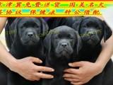 常年出售纯种股票 精品拉布拉多犬专业缔造完美品质签协议