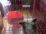 兔麻麻是暹罗垂耳,兔粑粑是紫灰+白盖脸猫猫兔。