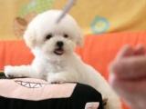 可送货上门,家里生一窝纯种哈多利球形博美犬出售
