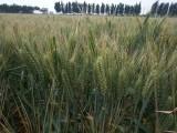 矮秆大穗小麦抗倒伏小麦山科麦