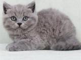 江苏无锡纯种包子脸蓝猫怎么买