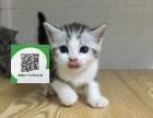 深圳哪里有虎斑猫出售 深圳虎斑猫价格 虎斑猫多少钱