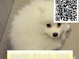 哪里出售银狐犬 纯种银狐犬多少钱