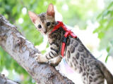 純種雙血統豹貓低價出售